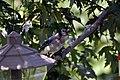 Blue Jay (4845994301).jpg