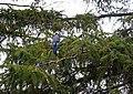 Blue Jay 0709 (4552027578).jpg