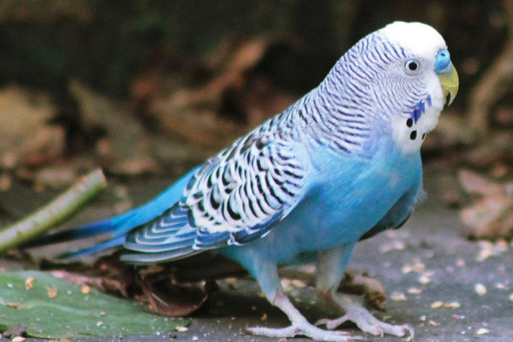 Periquito australiano branco e azul