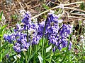 Bluebells - geograph.org.uk - 408128.jpg