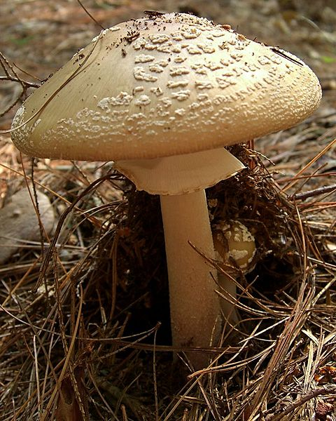 File:Blusher Amanita with child.jpg