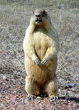 Prisursky Nature Reserve - Bobak Marmot