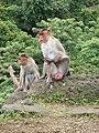 Bonnet Macaques Macaca radiata Kanheri SGNP Mumbai by Raju Kasambe DSCF0056 (1) 22.jpg