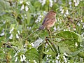 Booted warbler-from kannur kattampally. - 3.jpg