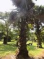 Borassus Aethiopum Plant.jpg