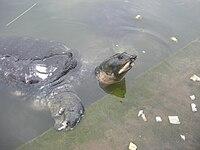 Bostami Turtle.jpg