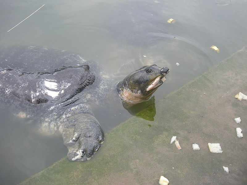 File:Bostami Turtle.jpg