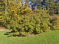 Botanischer Garten Berlin-Dahlem 10-2014 photo12 Stranvaesia davidiana.jpg