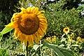 Botanischer Garten der Universität Zürich - Helianthus annuus 2010-08-24 17-27-24.JPG