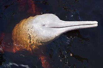 Biodiversity of Colombia - The Amazon river dolphin inhabits the southeastern Amazon region of Colombia