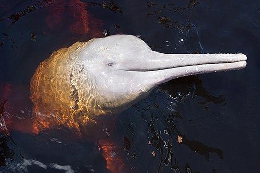 delfín rosado o bufeo colorado