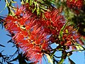 Bottlebrush Tree Bloom, Callistimom viminalis, 2012 - panoramio.jpg