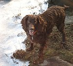 """A brown spaniel faces the camera in the snow."""