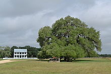 The Sam Houston Oak where the Provisional Army of Texas rested after the burning of Gonzales