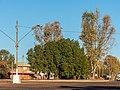 Brachychiton populneus Herbert St Boulia Central Western Queensland P1080643.jpg
