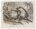 Brachyurus calvus - 1700-1880 - Print - Iconographia Zoologica - Special Collections University of Amsterdam - UBA01 IZ20200249.tif