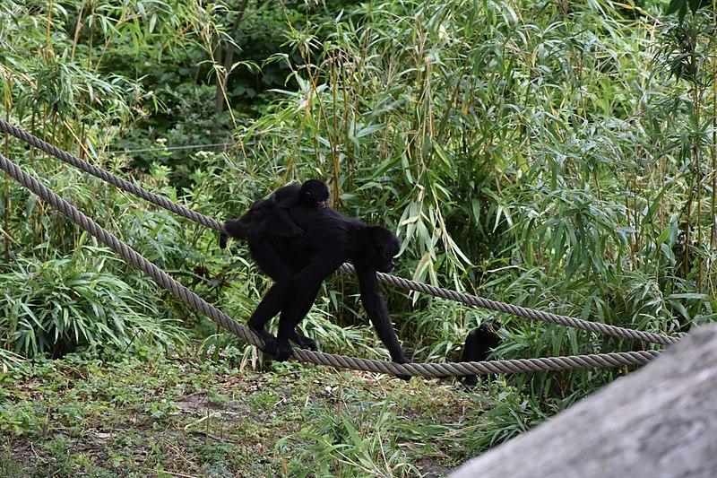 File:Braunkopfklammeraffe mit Nachwuchs im Zoo Osnabrück2.jpg