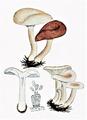 Bresadola - Clitocybe rivulosa.png