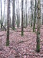 Broadleaf trees in a spruce forest - Jan 2012 - panoramio.jpg