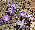 Brodiaea terrestris ssp terrestris 2.jpg