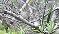 Brown-capped Vireo (Vireo leucophrys) (5783251079).jpg