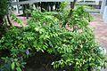Brufelsia Panciflora-America Central (1) (11983567384).jpg