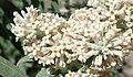 Buddleja salviifolia 55089506.jpg