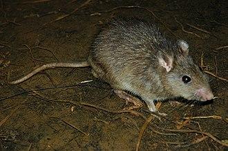 Bullimus - Bagobo rat (Bullimus bagobus)