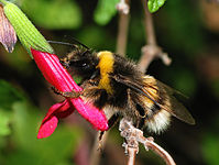 Bumblebee October 2007-3.jpg