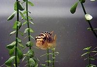 Bumblebeecichlid
