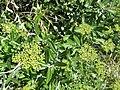 Bupleurum fruticosum. Amargaza.jpg