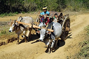 Yoke - Withers yokes in use in Burma