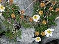 Burren Flora 12 Mountain Avens (3585315831).jpg