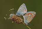 Butterfly Common Blue - Polyommatus icarus.jpg