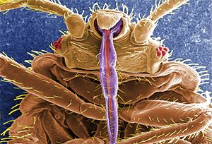 Bed bug - Scanning electron micrograph (SEM) digitally colorized with skin-piercing mouthparts highlighted in purple and red