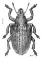 COLE Curculionidae Gonipterus scutellatus.png