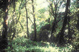 Cosumnes River Preserve - Cosumnes River riparian woodland