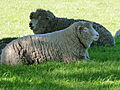 CSIRO ScienceImage 11098 Sheep.jpg
