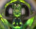 CSIRO ScienceImage 1399 Face of a Cuckoo wasp.jpg
