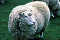 CSIRO ScienceImage 2251 A Sheep.jpg