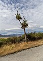 Cabbage tree by the side of Double Hill Run Road, Canterbury, New Zealand.jpg