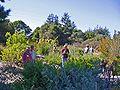 Cabrillo College, Salvia garden-01ri.jpg