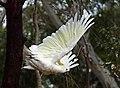 Cacatua galerita -Melbourne -Australia-8d.jpg