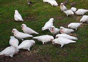 Long-billed corella - Many feeding in Melbourne, Australia