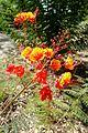 Caesalpinia pulcherrima kz1.jpg