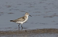 240px calidris minuta   little stint, adana 2016 11 05 01 2