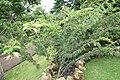 Calliandra haematocephala 24zz.jpg