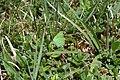 Callophrys rubi, Remoray - img 12582.jpg