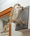 Callorhinus ursinus skeleton - Redpath Museum - McGill University - Montreal, Canada - DSC07806.jpg