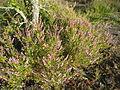 Calluna vulgaris, Görvälns naturreservat, 2015a.jpg